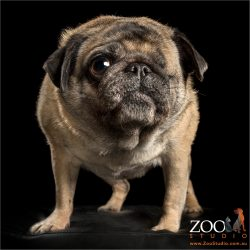 standing fawn pug