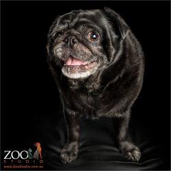 big black male pug