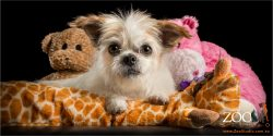 sitting on cushion with soft toys shih tzu cross