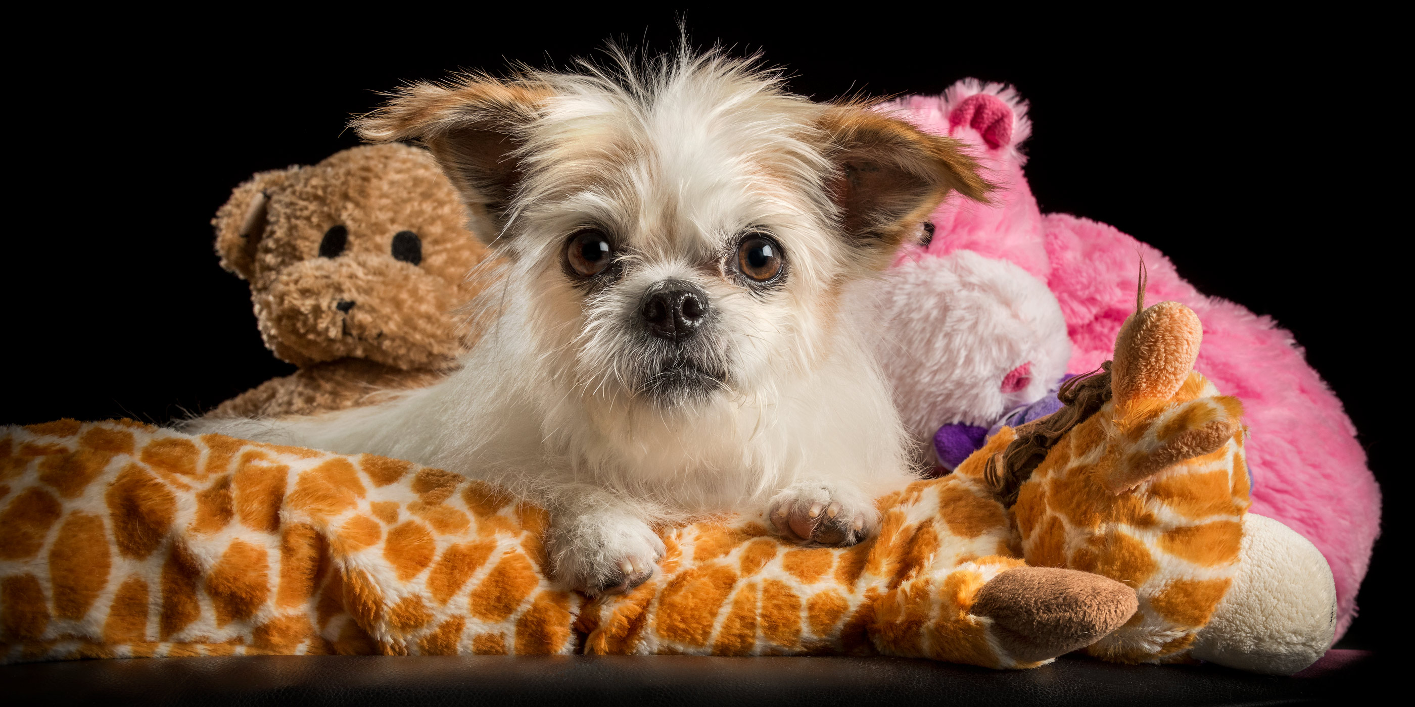 shih tzu cross with soft toys