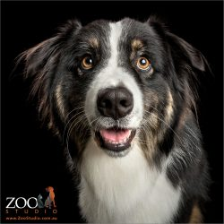 happy smile handsome face australian shepherd