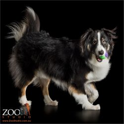 playful australian shepherd with ball