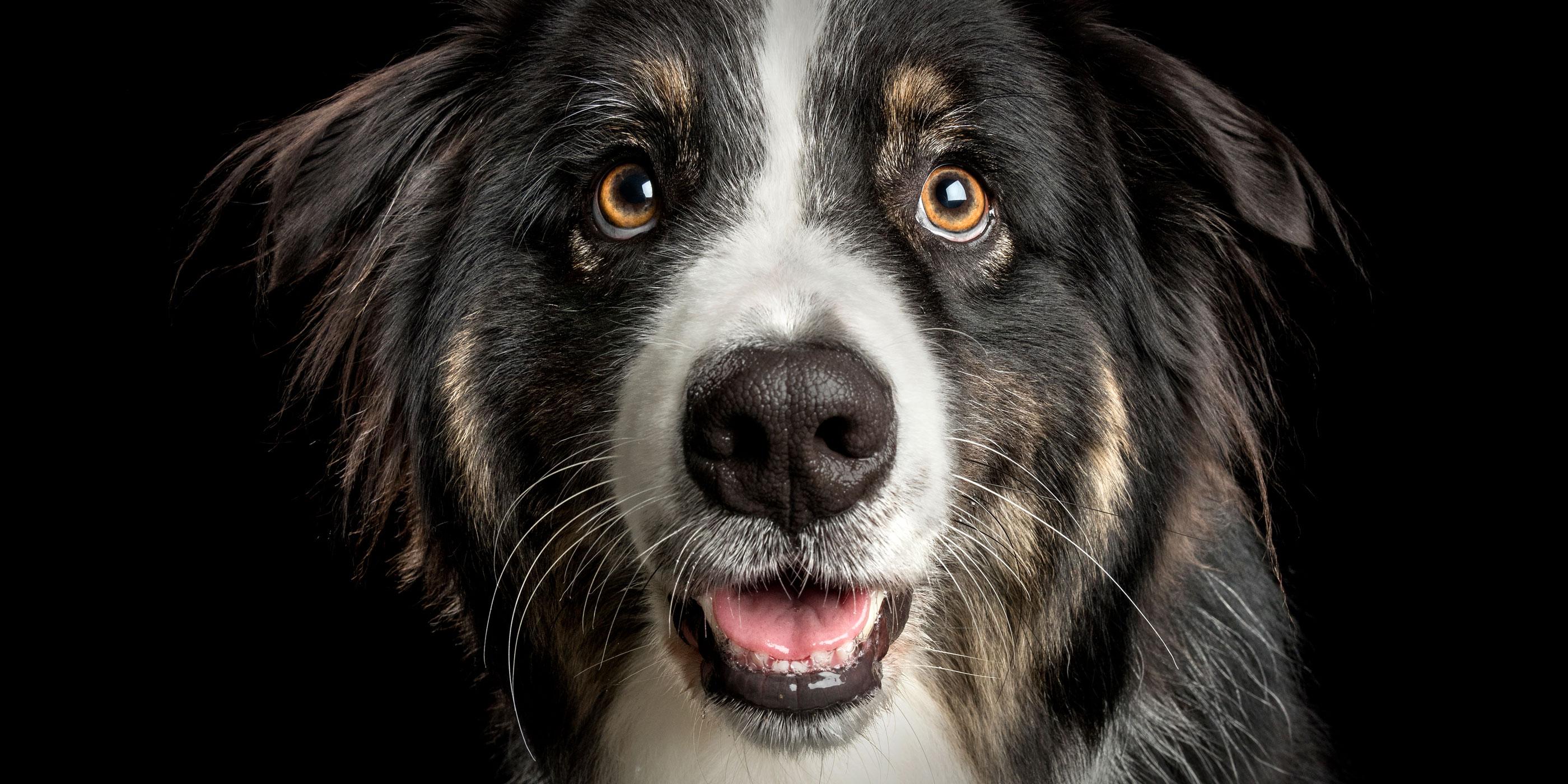 smiling face tri-coloured australian shepherd