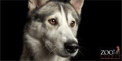 head close up husky