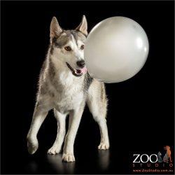 balloon popping husky