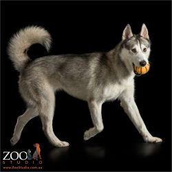 husky with orange ball in mouth