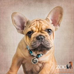 golden french bulldog puppy