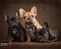 litter of three french bulldogs black and tan puppies