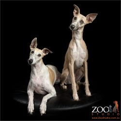 head tilting pair of whippets