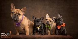 four french bulldogs mum and litter of puppies
