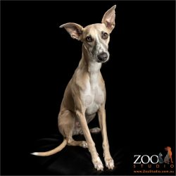 sweet faced fawn whippet