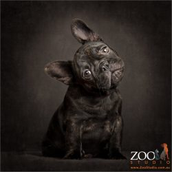 head tilting black french bulldog puppy