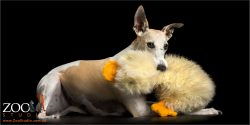 whippet with huge fluffy duck