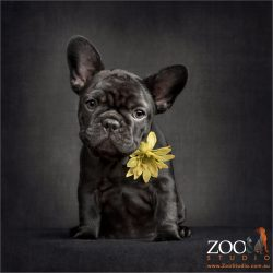 black french bulldog puppy wearing sunflower