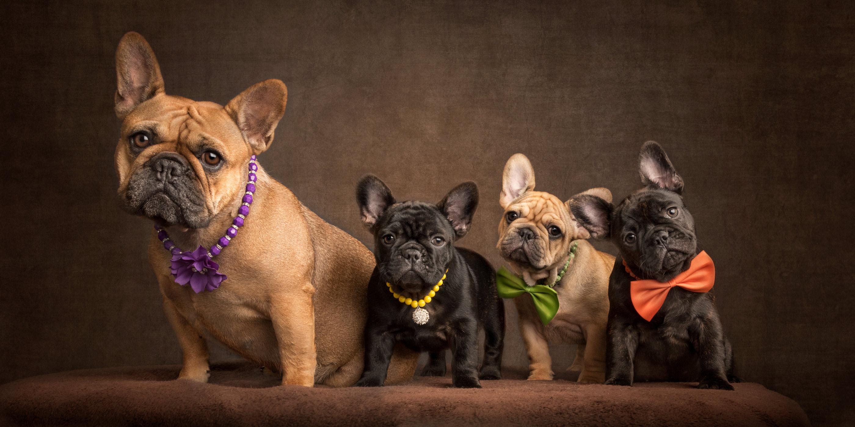 French Bulldog mum and litter of three puppies