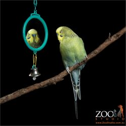 mirror gazing budgie