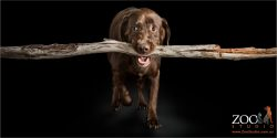 chocolate labrador with branch in mouth