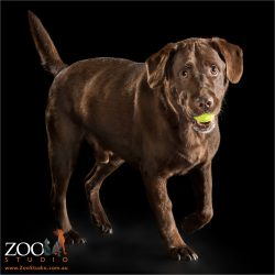 chocolate labrador with tennis ball in mouth