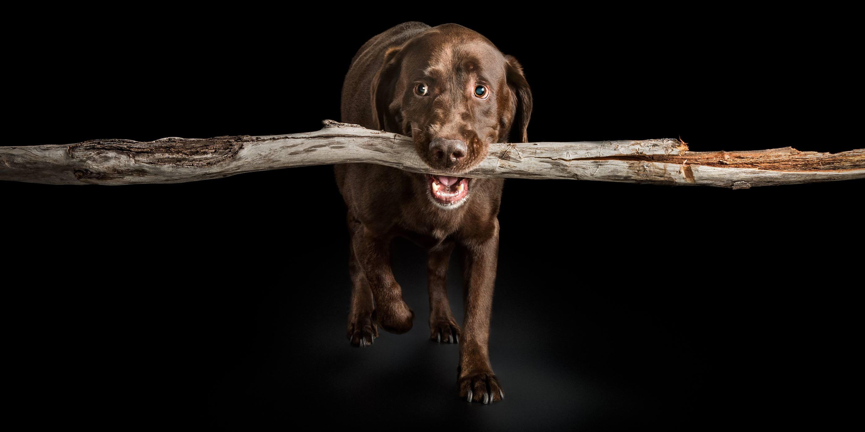 large branch in chocolate labrador's mouth
