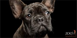 french bulldog full face