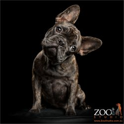 big eared head tilt french bulldog