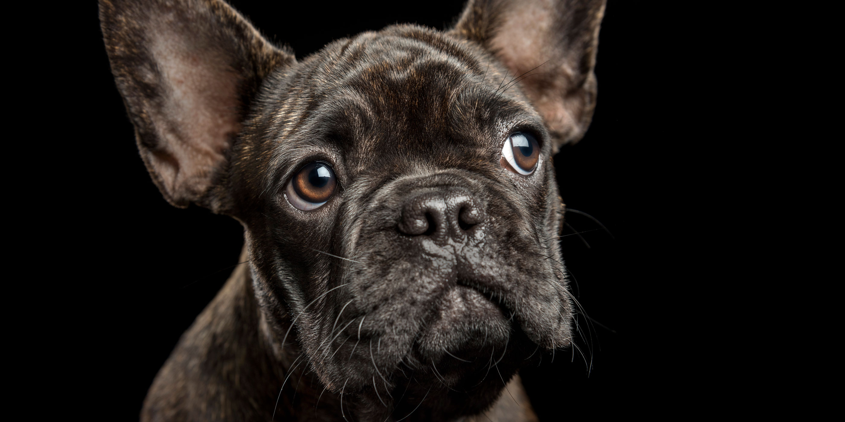 dark brindle french bulldog