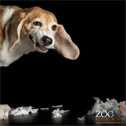 tissue chewing beagle