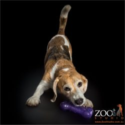 beagle in doga postion with purple toy
