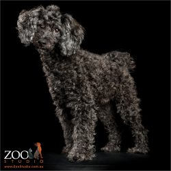 regal standing toy poodle