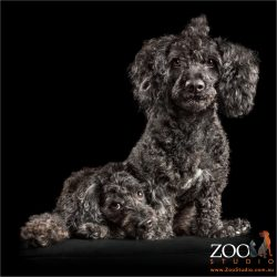 top knot toy poodle