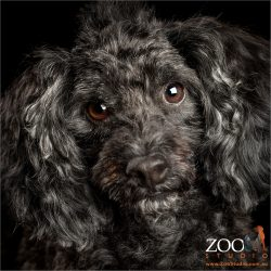 gentle eyes black toy poodle