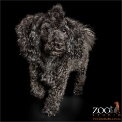 fluffy eared walking toy poodle