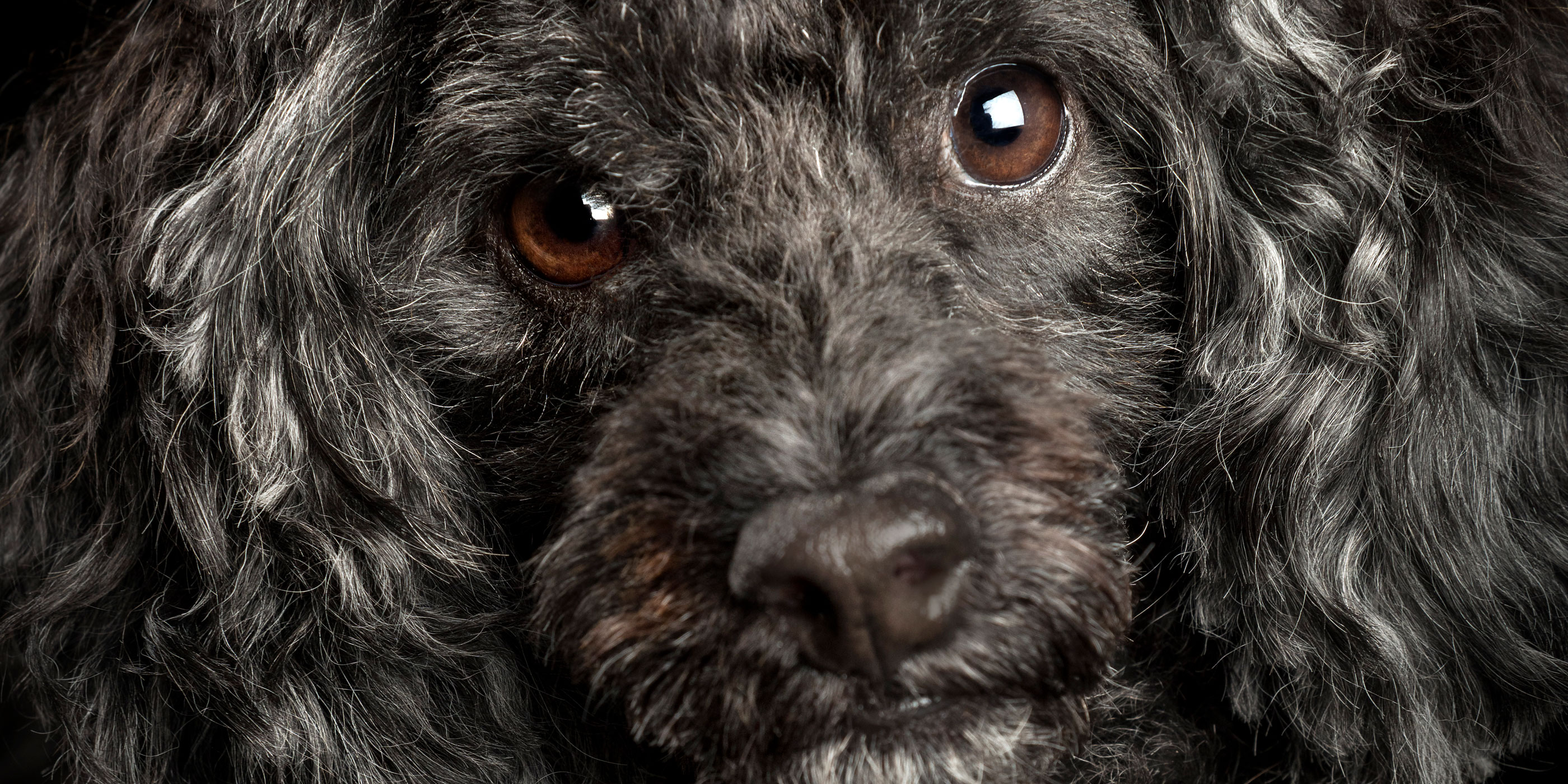 full face close up black toy poodle