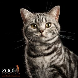 pretty faced big eyes american shorthair cat
