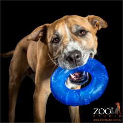 blue ring in mouth mastiff cross