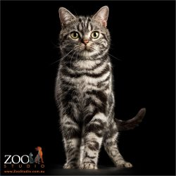 regal stand back and silver american shorthair
