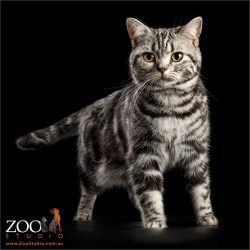 proud stand american shorthair cat