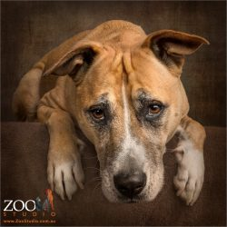 head between paws fawn mastiff cross
