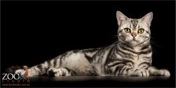 black and silver american shorthair cat