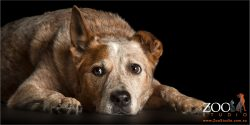 intent look australian red cattle dog