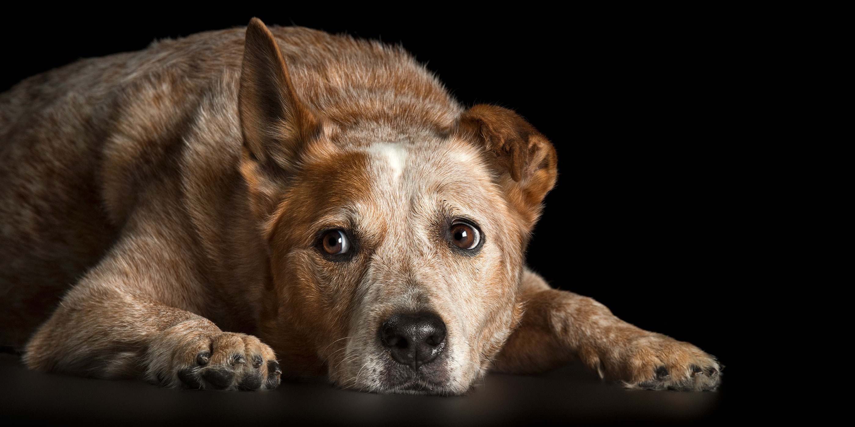 lying down sweet faced red cattle dog