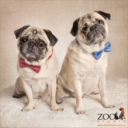 pair of pawn pugs wearing bow ties