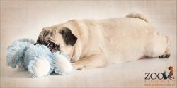 fawn pug playing with blue teddy