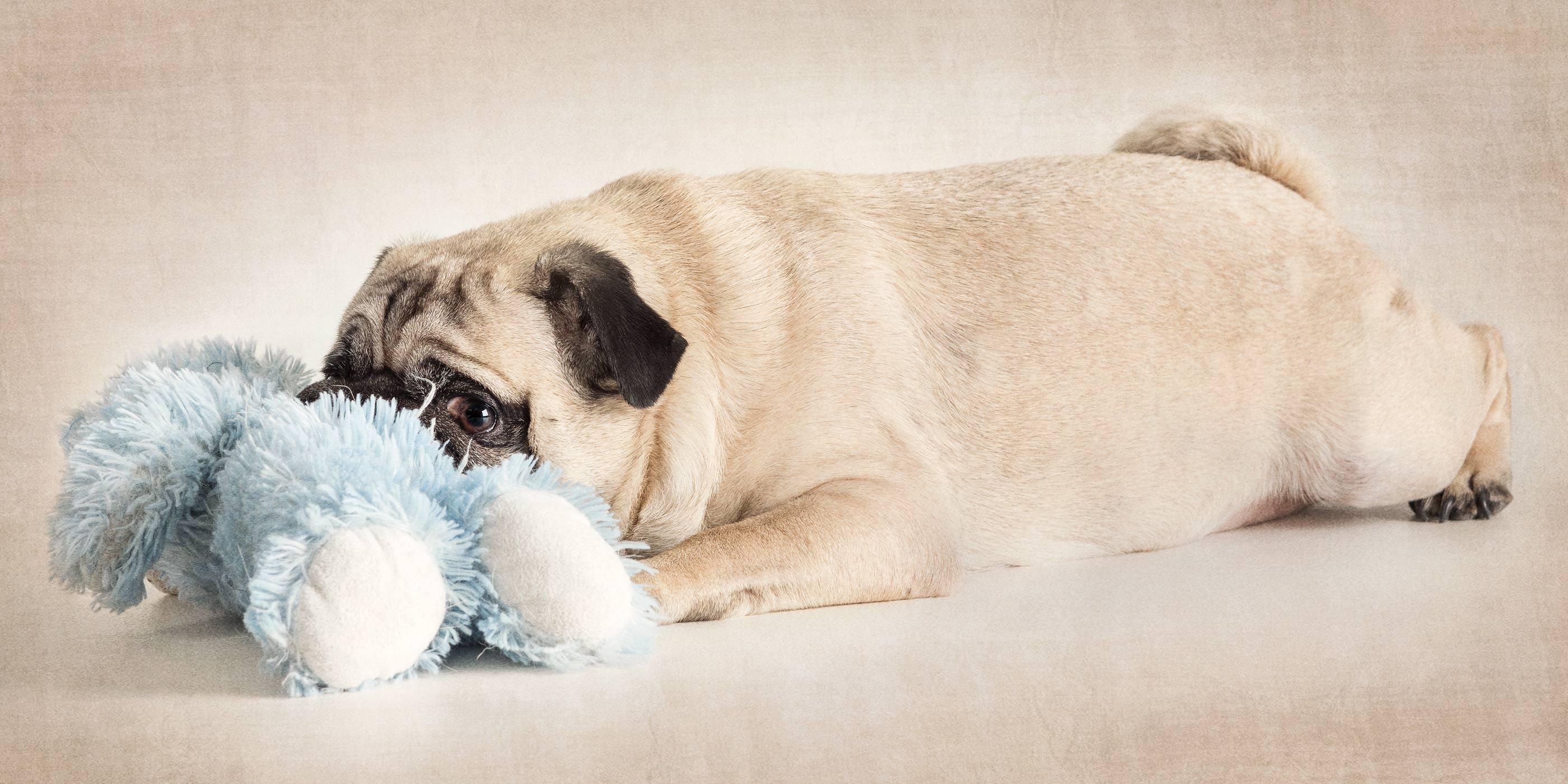 fawn pug with blue teddy bear