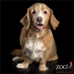 smiling sitting silky terrier cross
