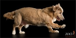 brown and white silky terrier cross running