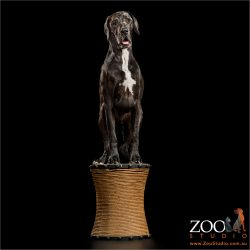 black great dane on a pedestal