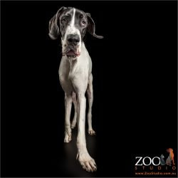 long legged walking black and white great dane