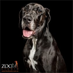 tongue out black great dane