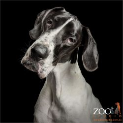 head tilt masked great dane